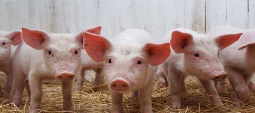 Эпоха Клонов. Калькулятор разведения свиней.